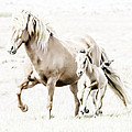Michael Canning - Icelandic mare and foal 2