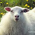 Roxie Crouch - Icelandic Sheep