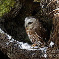 Inspired Nature Photography By Shelley Myke - In Hiding Saw Whet Owl...