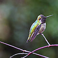 Dee Browning - Perched Hummingbird