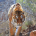 Donna Kennedy - Indochinese Tiger-...