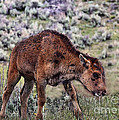 Janice Rae Pariza - Infant Bison in...