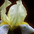 Bruce Bley - Iris Fascination