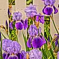 Julie Grandfield - Irises and Picket Fence