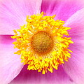 The Creative Minds Art and Photography - Japanese Anemone