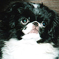 Jim Fitzpatrick - Japanese Chin Puppy...