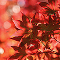 Rachel Cohen - Japanese Maple in Red