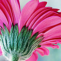 Wendy Wilton - Just A Gerbera