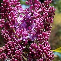 Eunice Miller - New Hampshire Lilac Just...
