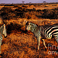 Lydia Holly - Kenyan Zebras
