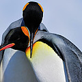 Tony Beck - King Penguins Bonding