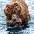 Tim Moore - Kodiak Brown Bear