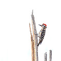 Ruth Jolly - Ladder-Backed Woodpecker