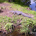 Joseph Baril - Large Size Alligator