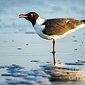 Dawna  Moore Photography - Laughing Gull