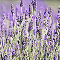 Anahi DeCanio - Lavender fields 2