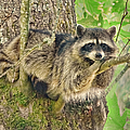 Jennie Marie Schell - Lazy Day Raccoon