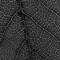 Morgan Wright - Leaf in Detail