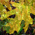 Lyn  Perry - Leaves of Autumn-1