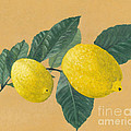 Kerstin Ivarsson - Lemon tree branch with...