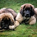 Gun Legler - Leonberger puppies