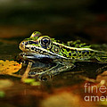 Inspired Nature Photography By Shelley Myke - Leopard Frog Floating on...