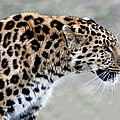 Lawrence Graves - Leopard