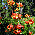 Kathleen Bishop - Leopard Lilies Blooming...