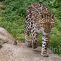 Terry Weaver - Leopard on the Prowl