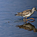 Elizabeth Winter - Lesser Yellowlegs