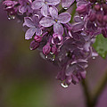 Penny Meyers - Lilacs After the Rain