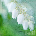 Kim Fearheiley - Lily of the Valley