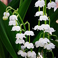 Lainie Wrightson - Lily of the Valley