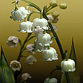 Schwartz - Lily of the Valley
