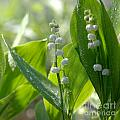 Tanja Riedel - Lily of the valley