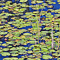 Marcia Colelli - Lily Pads