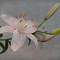 Patti Deters - Pink Lily with Texture
