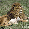Robert Weiman - Lion and Lamb