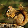 James Peterson - Little Red Squirrel...