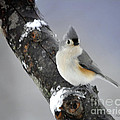 Nava Jo Thompson - Little Titmouse