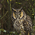 Rob Mclean  - Long eared owl one of...