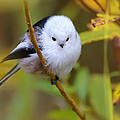 Sergey Ryzhkov - Long-tailed Tit