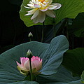 Byron Varvarigos - Lotus Beauties In White...