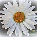 Photographic Art and Design by Dora Sofia Caputo - Lovely in White - Daisy