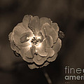 Connie Fox - Luminous Rose in Sepia