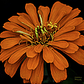 Julie Palencia - Magellan Orange Zinnia...