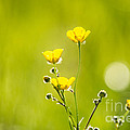 Cheryl Baxter - Magical Buttercups
