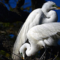 Barry Goble - Magnificent Great Egrets