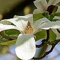Pamela Patch - Magnolia Stellata Royal...