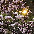 Tracy Munson - Magnolia Sunrise
